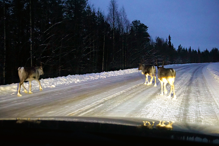 Surviving Europe: 21 Tips for a Successful Europe Road Trip - Reindeer in Road