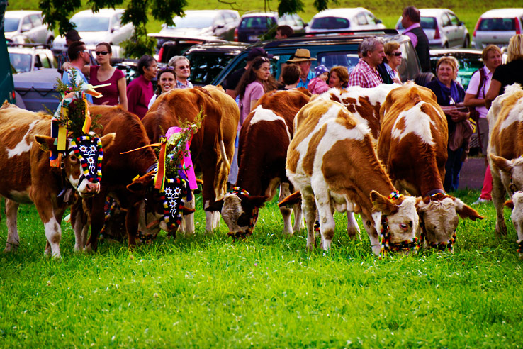 Surviving Europe: Almabtrieb in Austria A Cow Parade in the Alps the Alps - Cows