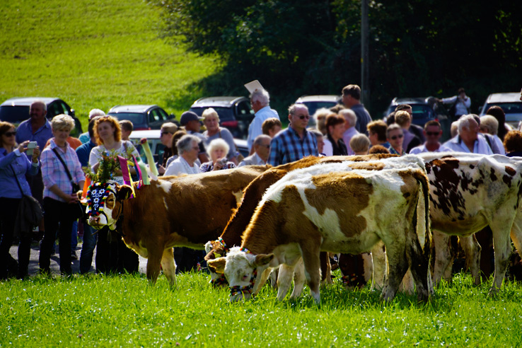 Surviving Europe: Almabtrieb in Austria A Cow Parade in the Alps the Alps - Cow Time