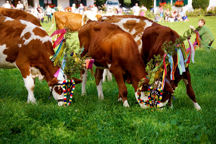Surviving Europe: Almabtrieb in Austria A Cow Parade in the Alps the Alps - More Cows