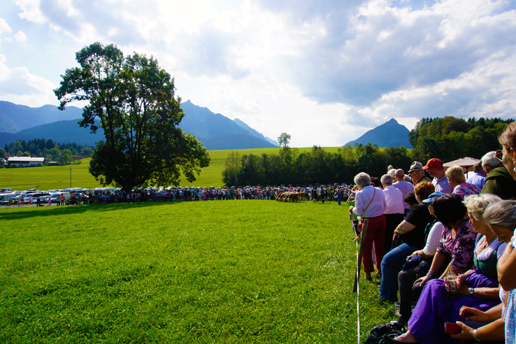 Surviving Europe: Almabtrieb in Austria A Cow Parade in the Alps the Alps - Cows Enter