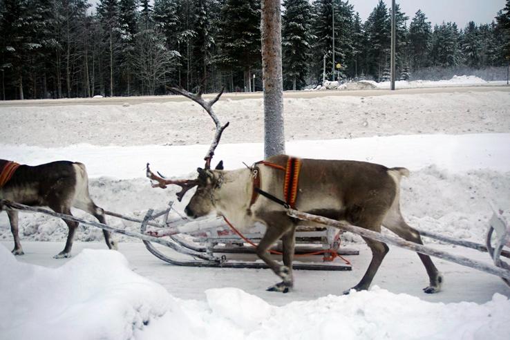 Surviving Europe: We Met Father Christmas at Santa Claus Village in Rovaniemi Finland - Reindeer